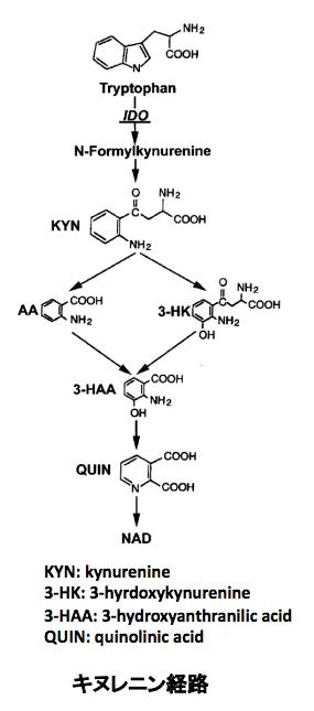 キヌレニン経路の全代謝