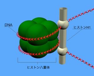 ヒストン八量体にDNAが巻きついたヌクレオソームの構造