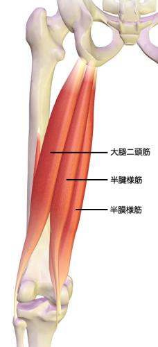 ハムストリングを構成する筋肉