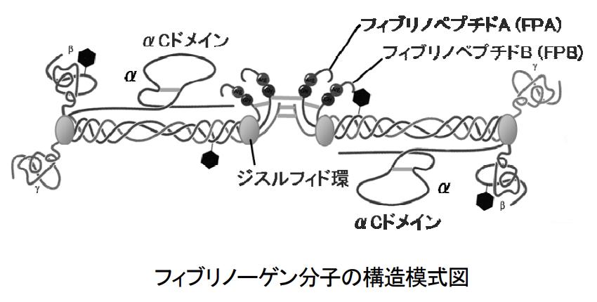 フィブリノーゲンの構造