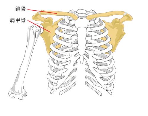 上肢帯を構成する骨