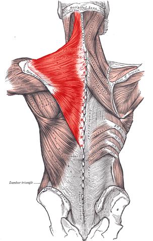 僧帽筋の位置と構造