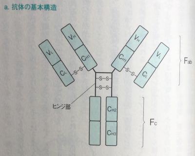 抗体(免疫グロブリン)の構造