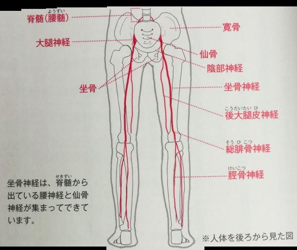 坐骨神経を構成する神経の構造