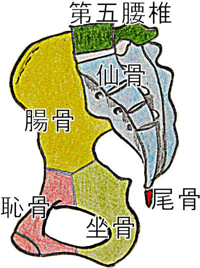 寛骨の構造