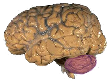 脳における小脳の位置