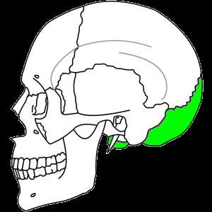 後頭部の位置