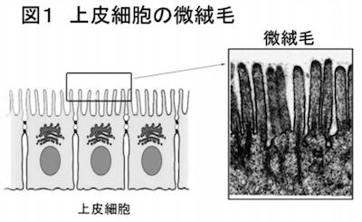 微絨毛の構造
