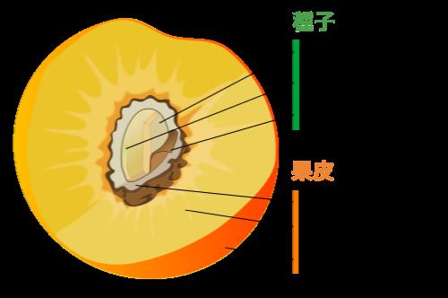 核果の果皮の構造