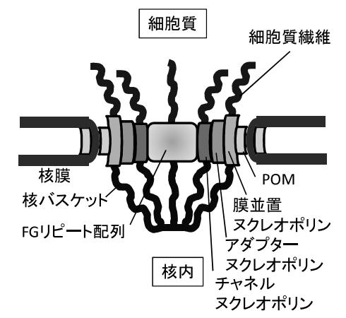核膜孔複合体の構造