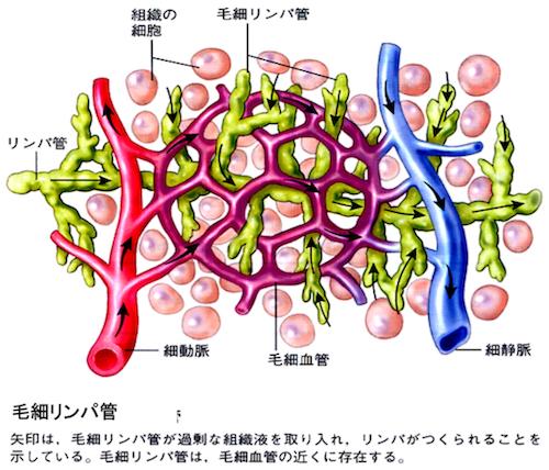 毛細リンパ管と毛細血管の関係