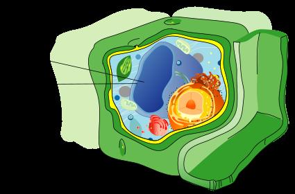 植物細胞内の液胞と液胞膜