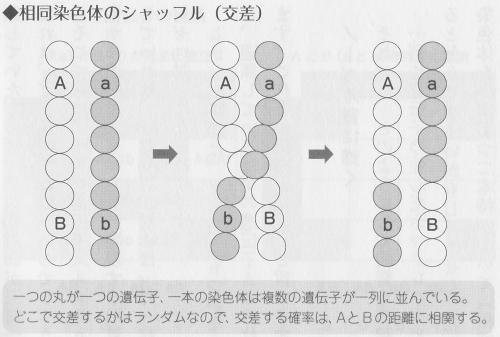 相同組換えによる相同染色体の組み換え