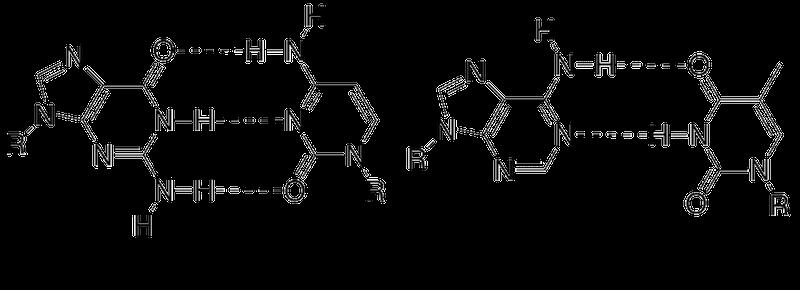 DNAにおける相補的塩基対