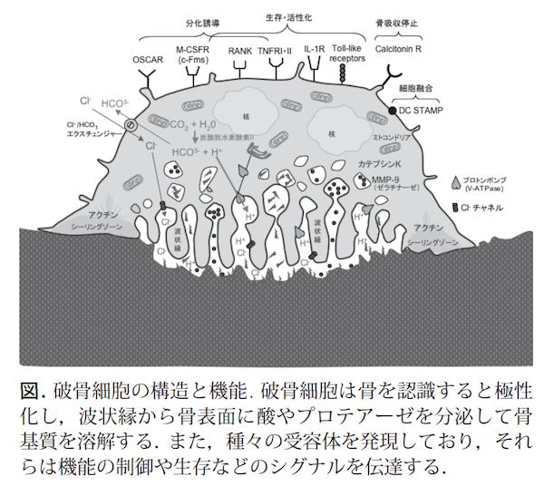 破骨細胞の構造