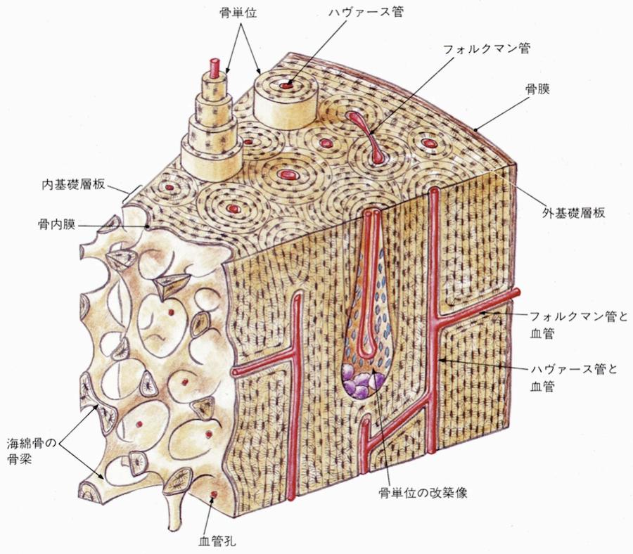 緻密質の構造