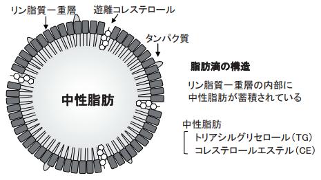 脂肪滴の構造