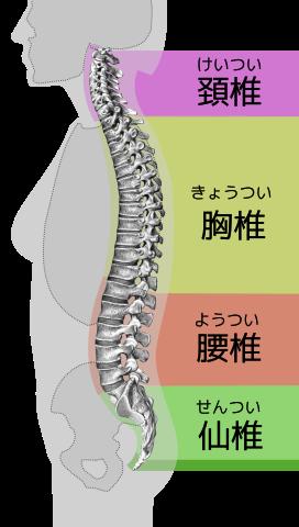 脊椎の部位ごとの分類