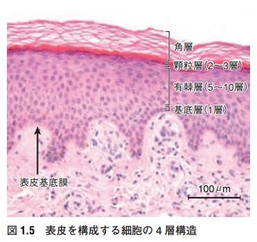 表皮を構成する4つの層