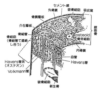 内骨膜と外骨膜の位置